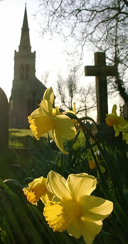 Daffodils in the graveyard, St Michael's