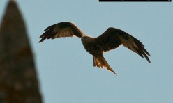 Red Kite over Little Gidding