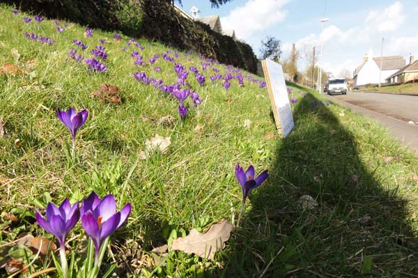 Polio charity crocuses outside St Michael's Church Great Gidding