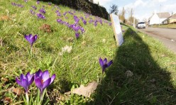 Polio and the 'Purple Pinky' and crocuses in front of the church