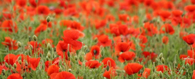 Remembrance: why poppies?