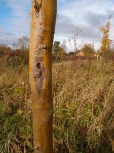 Ash tree disease
