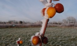 Frosted Malus