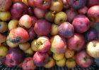 Apple Juicing Saturday