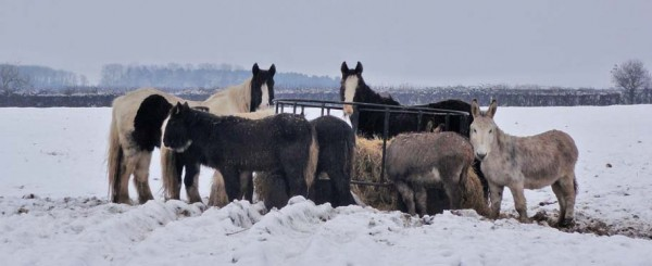 Great Gidding horses in the snow