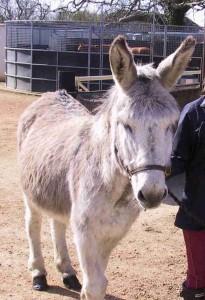 Donkey, Palm Sunday procession, Gidding