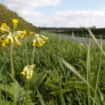 Cowslips on Luddington Road, Great Gidding