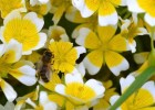 'poached egg plant' Limnanthes douglasii] which the bees love and everyone should grow to encourage pollinators into their garden!