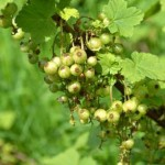 Redcurrants on Great Gidding allotment