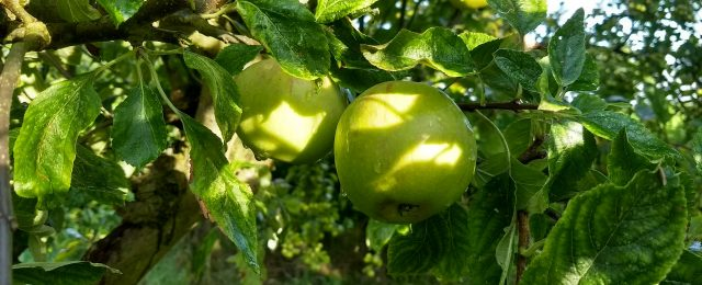 Are your apple trees laden with fruit!