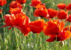 Poppies to commemorate WW1