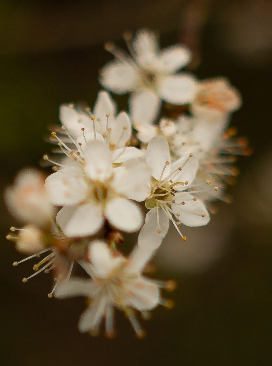 Blossom - Jubilee Wood - Great Gidding