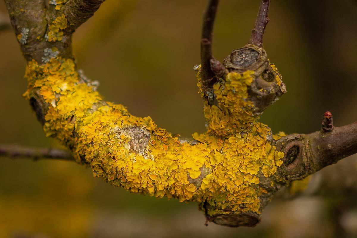 Lichen - Jubilee Wood - Great Gidding