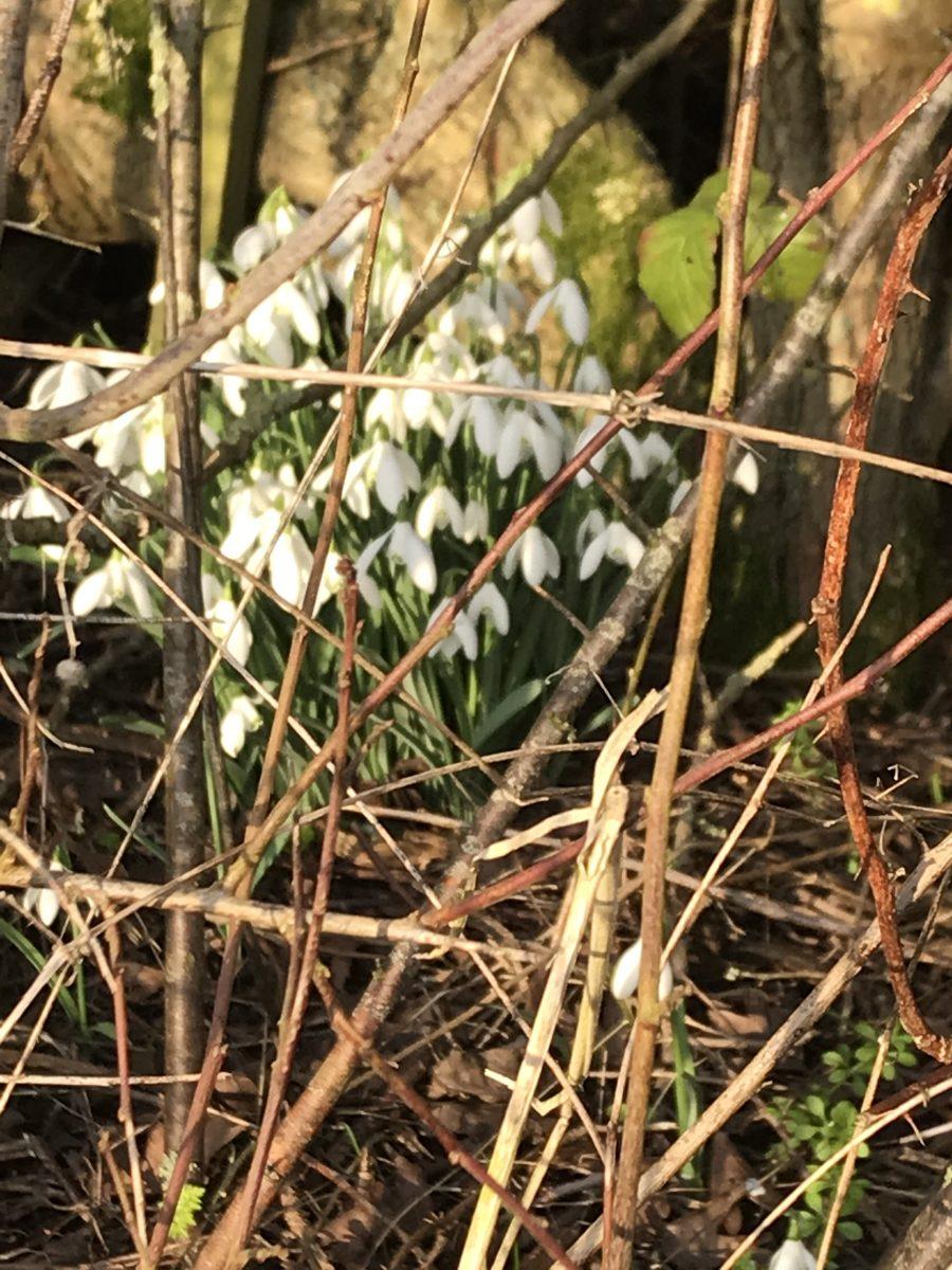 Snowdrops in Jubilee Wood