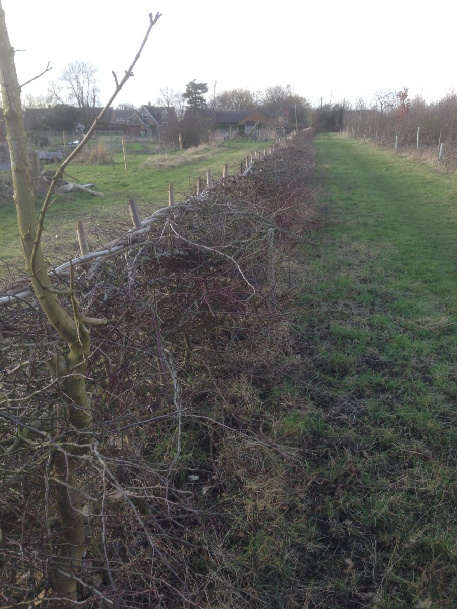 Hedge between Allotments and Wood 2020