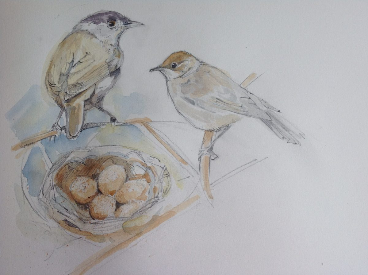 Watercolour of male and female Blackcap birds and nest of eggs