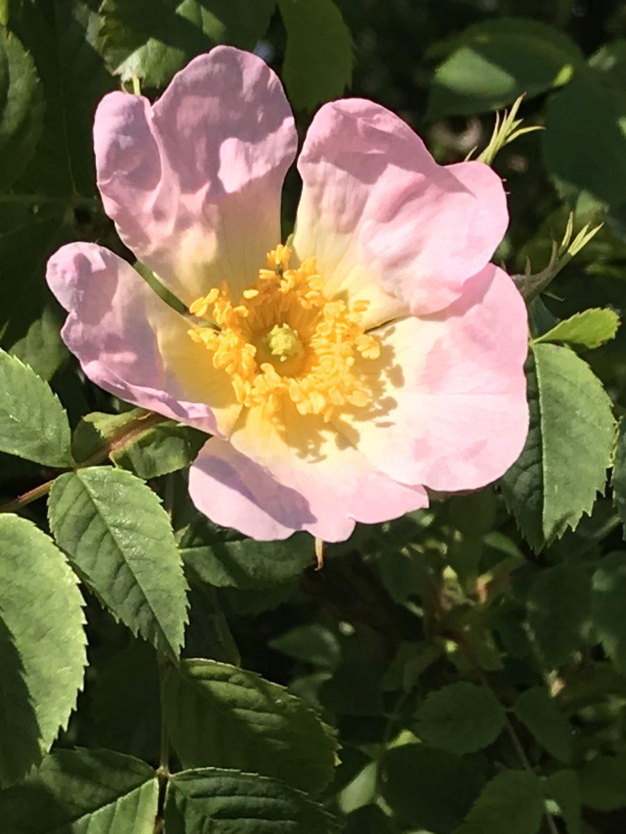 Dog Rose May 2020