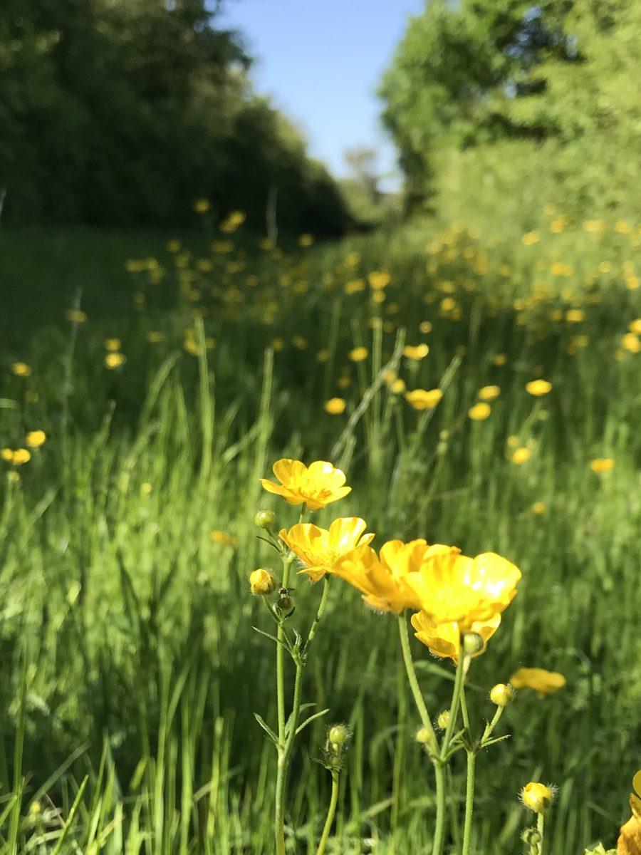Buttercups on pathway Jubilee Wood