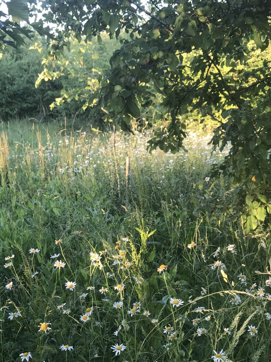 Afternoon  sunlight  on white daisies, Jubilee wood June 2020