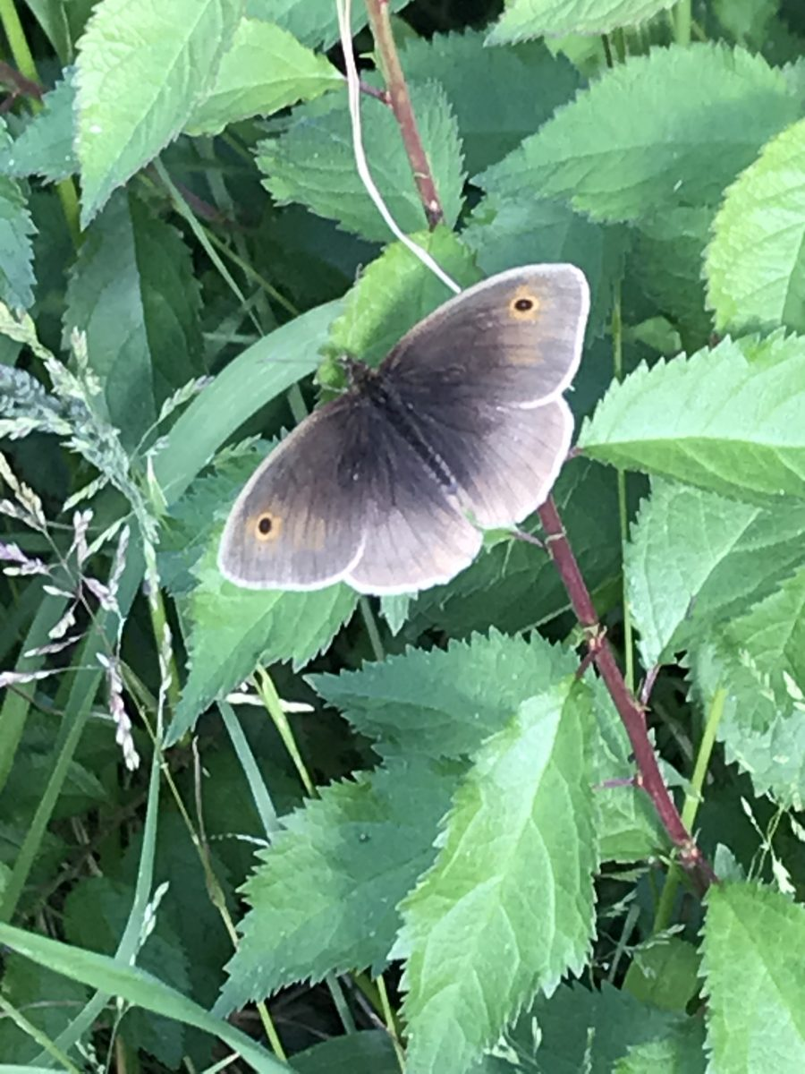 Meadow brown in Jubilee Wood June 2020