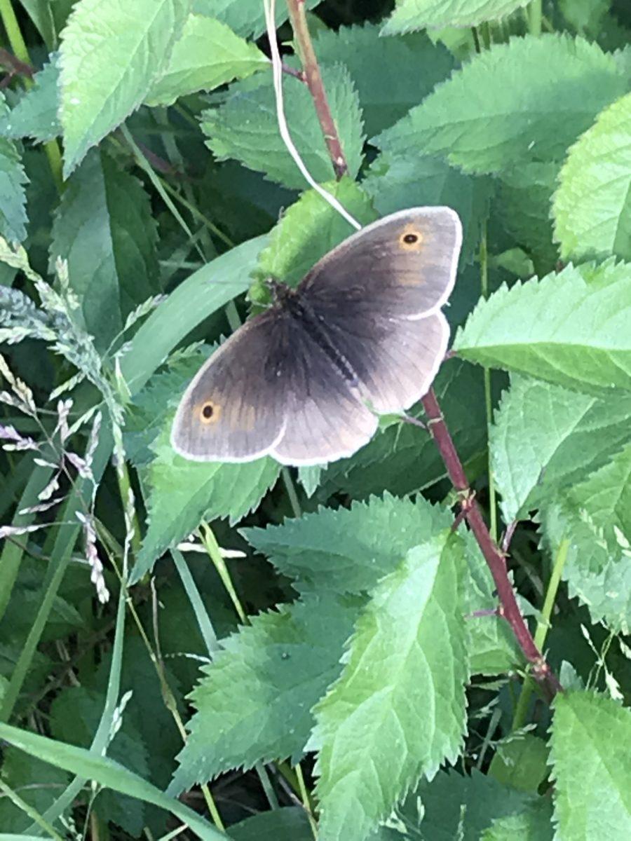 Meadow brown in Jubilee Wood June 2020