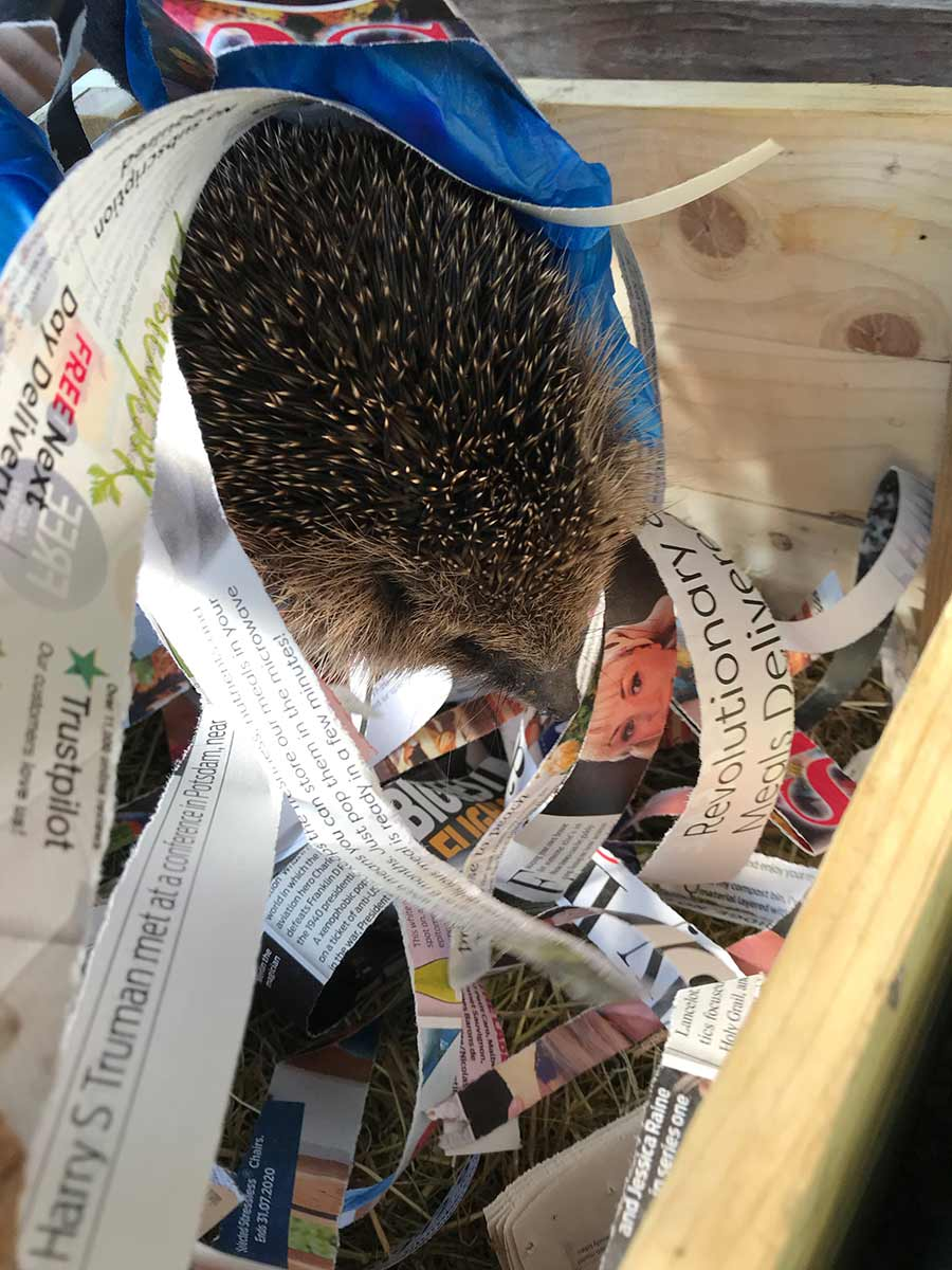 A new hedgehog for Great Gidding