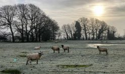 Sheep, Little Gidding, Jan 21