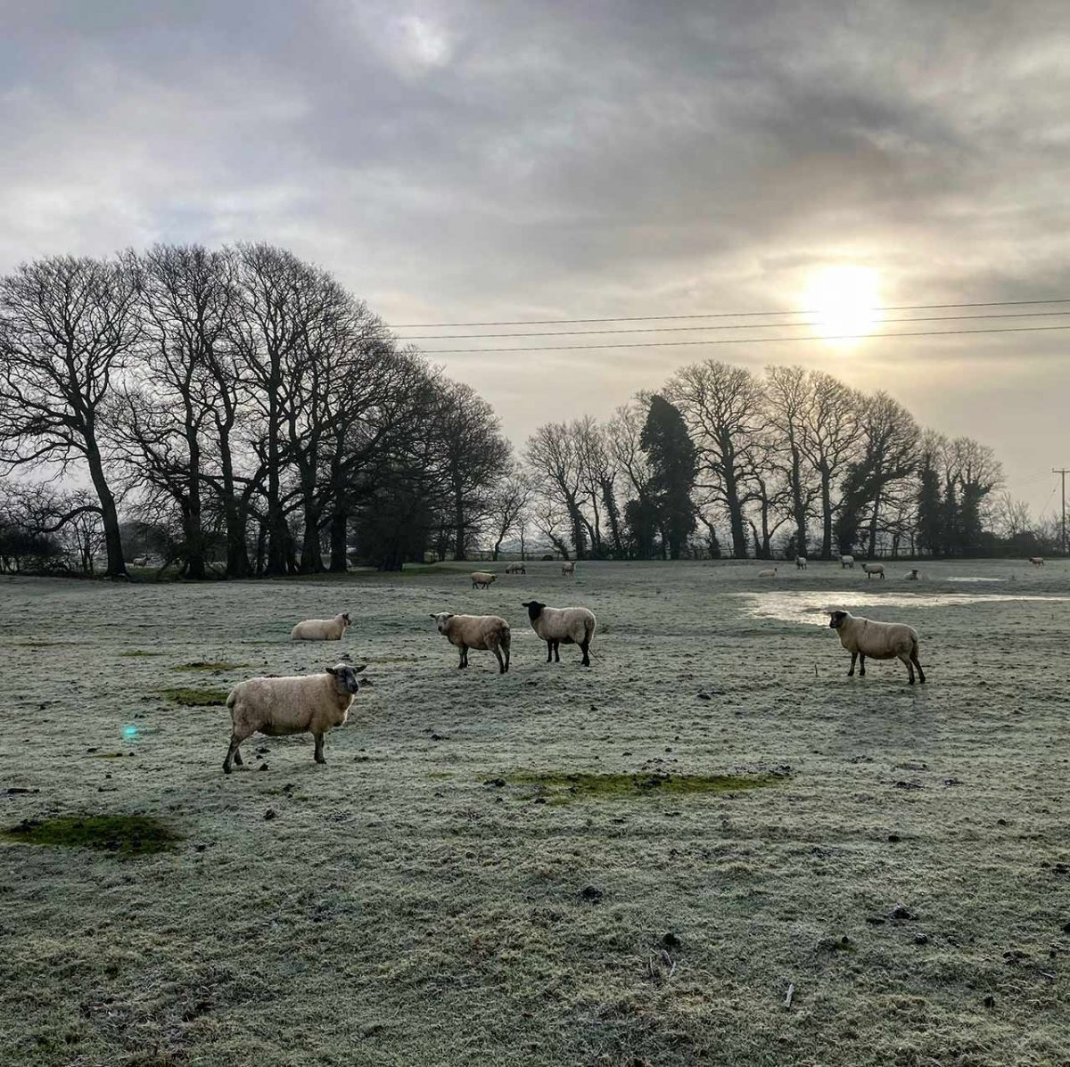 Sheep, Little Gidding Jan 21