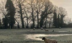 Social distancing sheep, Little Gidding, Jan 21