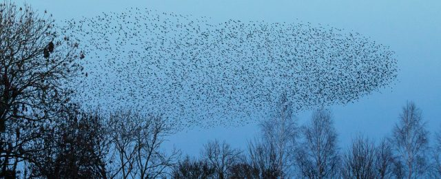 Starling murmurations in Luddington Feb 2021
