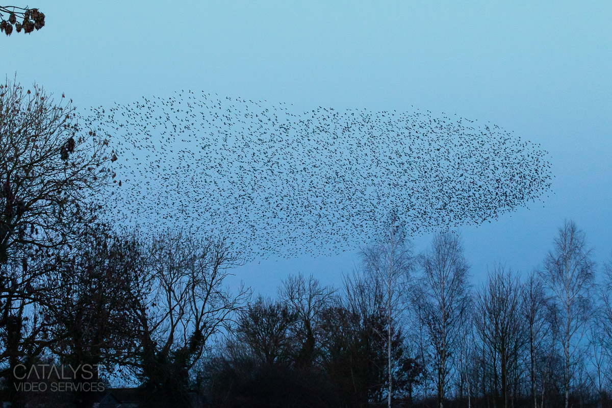Starling murmuration, Luddington Feb 2021