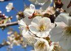 Jubilee Wood blossom